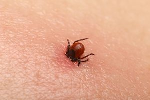 Encephalitis tick Ticks on human skin. Ixodes ricinus can transmit both bacterial and viral pathogens such as the causative agents of Lyme disease and tick-borne encephalitis.